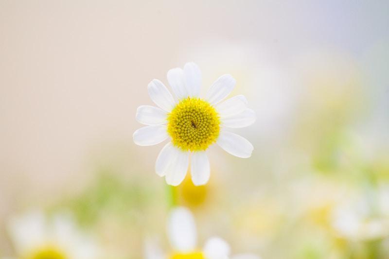 daisy blossom bokeh lights